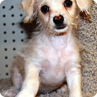 Adopt A Pet :: Pym - Gilbert, AZ