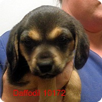 Adopt A Pet :: Daffodil - baltimore, MD
