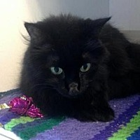 Domestic Longhair Cat for adoption in Sebastian, Florida - Licorice