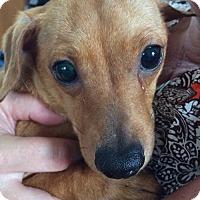 Dachshund/Chihuahua Mix Dog for adoption in Palm Coast, Florida - Diesel Adoption Pending Congrats Lisa!