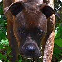 Boxer Dog for adoption in Sylva, North Carolina - Manchico
