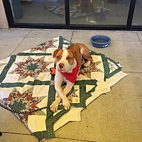 Adopt A Pet :: Maynard - Albuquerque, NM