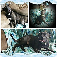 Terrier (Unknown Type, Medium)/Pit Bull Terrier Mix Dog for adoption in West Springfield, Massachusetts - Claire