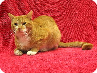 Domestic Shorthair Cat for adoption in Redwood Falls, Minnesota - Cheese-it