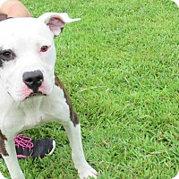 American Pit Bull Terrier Mix Dog for adoption in Windsor, Virginia - Jim