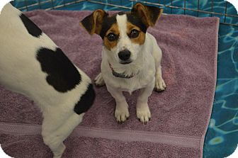 Jack Russell Terrier/Rat Terrier Mix Puppy for adoption in Lodi, California - Racey