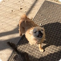 Pomeranian/Pug Mix Dog for adoption in Nixa, Missouri - Suzie # 967