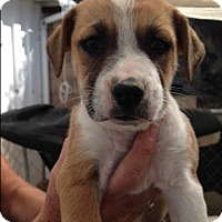 Adopt A Pet :: Pearl - BONITA, CA