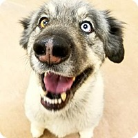 Siberian Husky Mix Dog for adoption in Spokane, Washington - Kenai