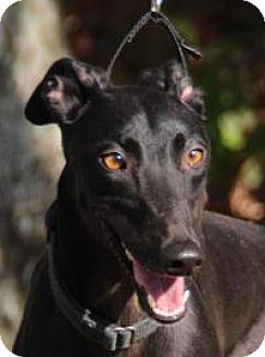 Greyhound Dog for adoption in Nashville, Tennessee - Kelly