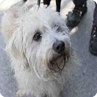 Cairn Terrier Mix Dog for adoption in Chicago Ridge, Illinois - KASI