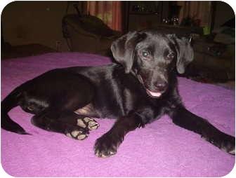 Labrador Retriever Mix Puppy for adoption in North Jackson, Ohio - Zoe