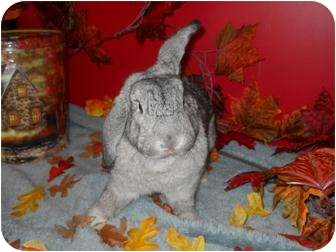 Mini Lop Mix for adoption in Roseville, California - Serena