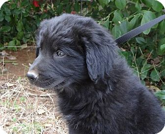 Newfoundland Lab Mix Pictures | Dog Breeds Picture