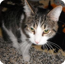 Domestic Shorthair Cat for adoption in Jackson, Michigan - Charlie