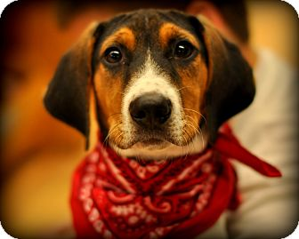 Treeing Walker Coonhound/Beagle Mix Puppy for adoption in Sparta, New Jersey - Tic Tac