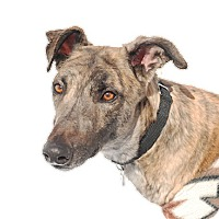 Adopt A Pet :: Chips - Ware, MA
