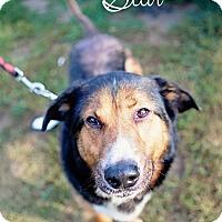 Adopt A Pet :: Star - Boston, MA