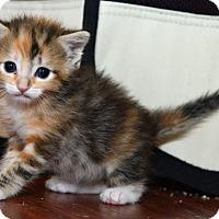 Adopt A Pet :: Sweet Blossom - Davis, CA
