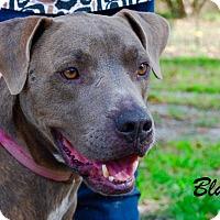 Adopt A Pet :: Blue - Daleville, AL