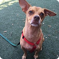 Chihuahua/Dachshund Mix Dog for adoption in Austin, Texas - Mickey