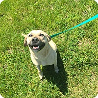 Labrador Retriever Mix Dog for adoption in Gallatin, Tennessee - Penny