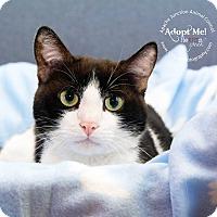 Adopt A Pet :: Kitten - Apache Junction, AZ