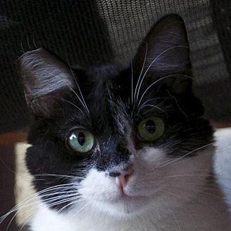 Domestic Mediumhair Cat for adoption in Los Angeles, California - Mia