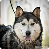 Siberian Husky Dog for adoption in Cedar Crest, New Mexico - Maya