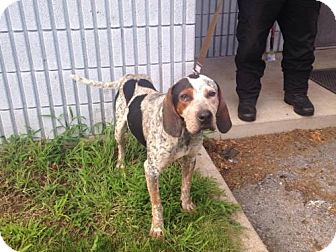 Bluetick Coonhound Mix Dog for adoption in Beckley, West Virginia - Linus