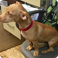 Adopt A Pet :: Carrot - Phoenix, AZ