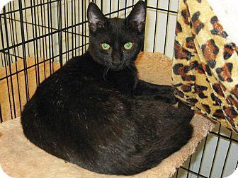Domestic Mediumhair Kitten for adoption in Lumberton, North Carolina - Coal