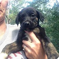 Adopt A Pet :: Aussie mixes - Brooksville, FL