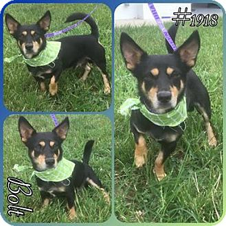 Miniature Pinscher/Dachshund Mix Dog for adoption in Spartanburg, South Carolina - Bolt- hw +
