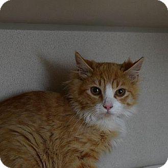 Domestic Longhair Cat for adoption in Denver, Colorado - Boq