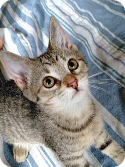 Domestic Shorthair Kitten for adoption in Sheboygan, Wisconsin - Pebbles