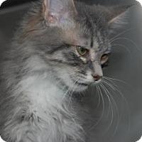 Adopt A Pet :: Grey Baby - South Haven, MI