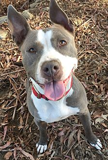 American Staffordshire Terrier Dog for adoption in Temecula, California - Olivia