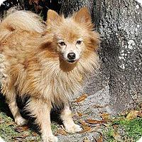 Adopt A Pet :: Smokey - Tampa, FL