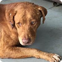 Adopt A Pet :: Chancy - Austin, TX