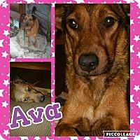 Adopt A Pet :: Ava - Cranston, RI