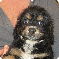 Adopt A Pet :: Dagwood - Allentown, PA