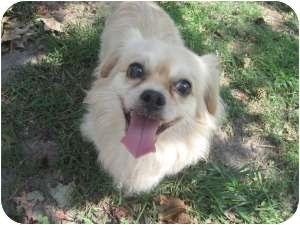 Pekingese/Pomeranian Mix Dog for adoption in Chesapeake, Virginia - Fuji
