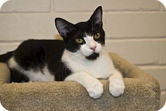 Domestic Shorthair Cat for adoption in New Port Richey, Florida - Marleigh