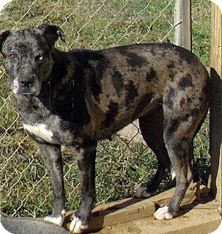 Australian Shepherd/Catahoula Leopard Dog Mix Dog for adoption in Moulton, Alabama - Autumn
