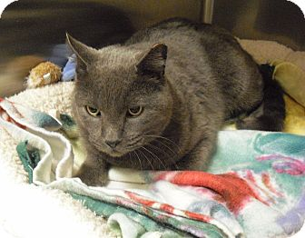 Russian Blue Cat for adoption in Wickenburg, Arizona - Rockey