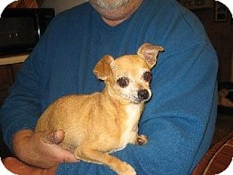 Chihuahua Dog for adoption in Greenville, Rhode Island - Flora
