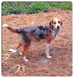 Madison | Adopted Dog | Hazard, KY | Australian Shepherd ...