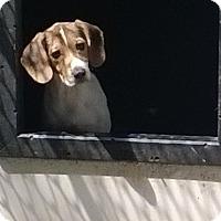 Adopt A Pet :: Willow - Dumfries, VA