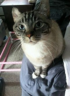Siamese Cat for adoption in Stahlstown, Pennsylvania - Tanner